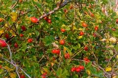 De röda bären av medicinska rosa höfter, lösa rosa Bush växer mogna rosa höfter Royaltyfria Bilder