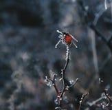 De röda bären av rosa höfter Autumn Frost royaltyfri fotografi