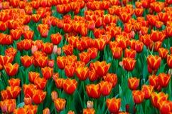 De röda gula tulpanfälten blommar tätt royaltyfria foton