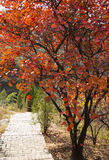 De röda sidorna av hösten, väg, Cotinuscoggygria Scop Royaltyfria Foton