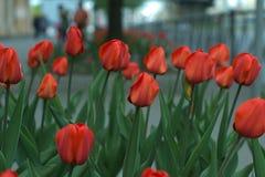 De röda tulporna på stadsgatan Arkivfoton