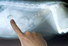 De Röntgenstraal van de kat Stock Afbeelding