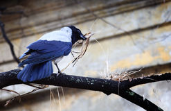 De raaf bouwt een nest stock foto's