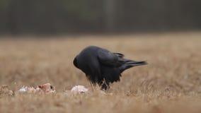 De raaf (Corvus corax) eet aas stock videobeelden