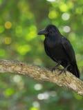 De raaf zit op tak, draaide zijn hoofd aan de linkerzijde, het profiel van een vogel met een sterke bek, zwart gevederte, tegen e Stock Fotografie