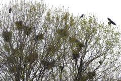 De raafnesten in boom haken met raven royalty-vrije stock foto