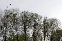 De raafnesten in boom haken met raven stock afbeeldingen