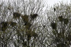 De raafnesten in boom haken met raven royalty-vrije stock afbeeldingen