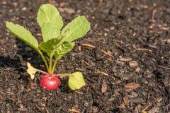 De radijzen groeien in het plantaardige flard tot oogst stock foto