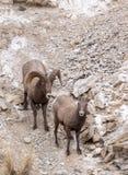 De Ram en de Ooi van Bighornschapen Stock Foto's