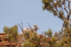 De Ram en de Ooi van het woestijnbighorn royalty-vrije stock afbeeldingen