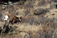 De Ram van Bighorn Stock Fotografie