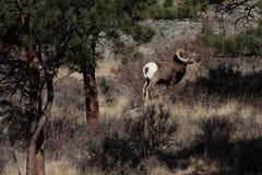 De Ram van Bighorn Stock Afbeeldingen