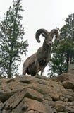 De Ram van Bighornschapen bovenop de klip van het rotsgezicht in het Nationale Park van Yellowstone in Wyoming royalty-vrije stock afbeelding