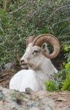 De Ram van Dallschapen royalty-vrije stock foto