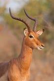 De ram van de impala Royalty-vrije Stock Afbeeldingen