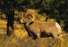 De Ram van de Schapen van Bighorn Royalty-vrije Stock Foto