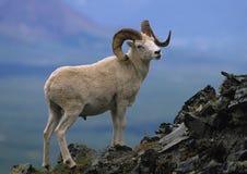 De Ram van de Schapen van Dall stock afbeeldingen