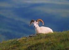 De Ram van de Schapen van Dall Royalty-vrije Stock Foto
