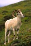De Ram van de Schapen van Dall royalty-vrije stock afbeeldingen