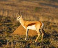 De Ram van de springbok Stock Fotografie