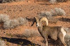De Ram van het de Woestijnbighorn van Nice Stock Foto
