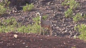 De Ram van het woestijnbighorn Stock Afbeeldingen