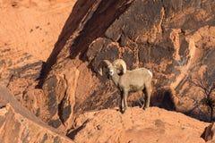 De Ram van het woestijnbighorn Royalty-vrije Stock Foto's