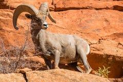 De Ram van het woestijnbighorn in Rotsen Stock Afbeelding