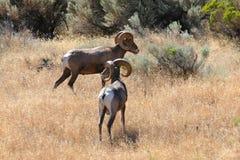De Rammen van Bighorn Stock Foto's