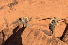 De Rammen van het woestijnbighorn Royalty-vrije Stock Foto's