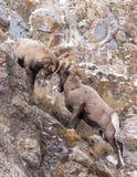 De Rammenstrijd van Bighornschapen Stock Foto's