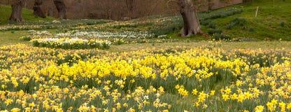 De randbomen van gele narcissen in het landelijke plaatsen Stock Afbeelding