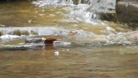 De randen van harde rots leiden tot stroomversnelling van van het de Watervallenkamp van de Brijvork het Park van de de Kreekstaa stock videobeelden