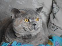 De ras gouden ogen van het kattengezicht Stock Afbeeldingen