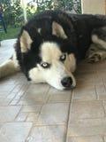 De ras schor hond van de huisdierenzorg openlucht Stock Foto's