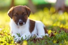 De rasechte puppy vlot-haired fox-terrier rust binnen op een gang royalty-vrije stock foto's