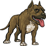 De Rassen van de hond: Pitbull Stock Afbeeldingen