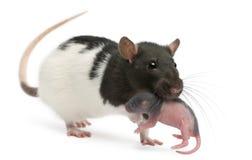 De rat die van de moeder haar baby in haar mond vervoert stock afbeelding