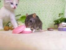 De rat eet bij de achtergrond van de kat stock fotografie