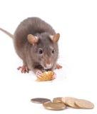 De rat heeft koekjes en het bekijken het geld Stock Foto