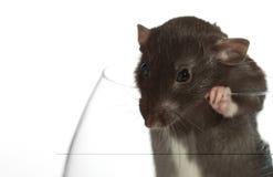 De rat kijkt uit het glas. stock afbeelding