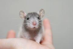 De rat van de baby Stock Foto