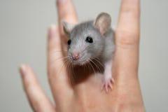 De rat van de baby Stock Afbeelding