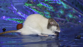 De rat van Dumbo Royalty-vrije Stock Foto