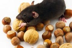 De rat van het huis Stock Foto's