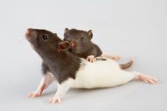De rat van het laboratorium stock foto
