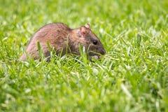 De rat van Noorwegen in de tuin tussen grasbladen stock fotografie