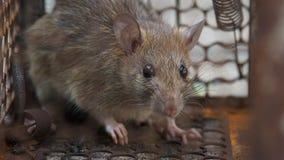 De rat was in een kooi die een rat vangen de rat besmetting de ziekte aan mensen zoals Leptospirosis, Plaag heeft Huizen en wonin stock footage