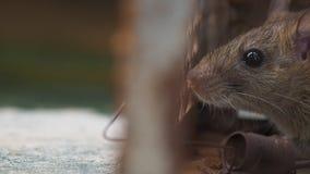 De rat was in een kooi die een rat vangen de rat besmetting de ziekte aan mensen zoals Leptospirosis, Plaag heeft Huizen en wonin stock videobeelden